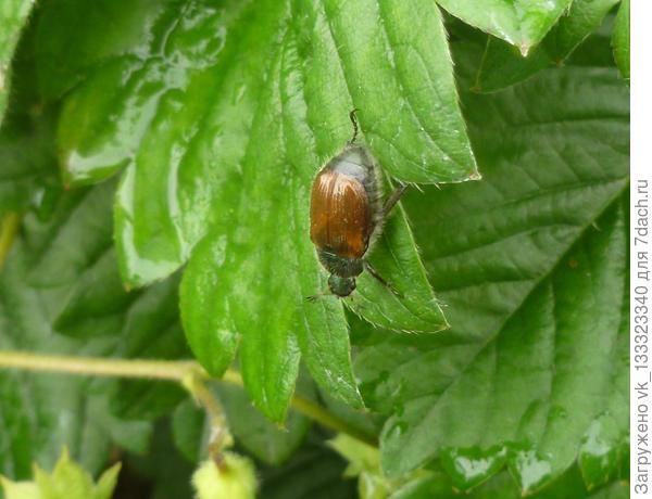 неопознанный жучок на садовой землянике