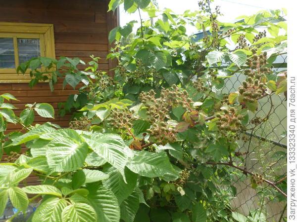 ежевика завязала плоды