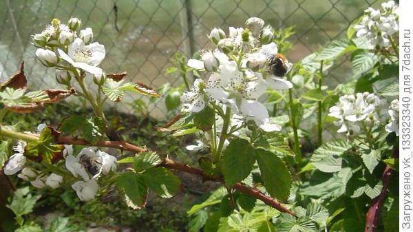 ежевика цветёт