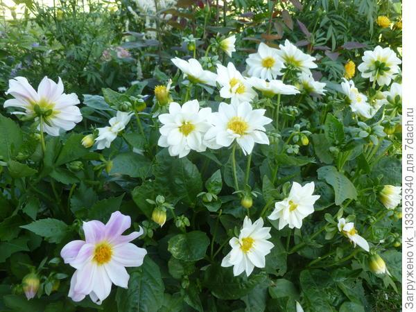 Однолетние георгины из семян. Пик цветения август.