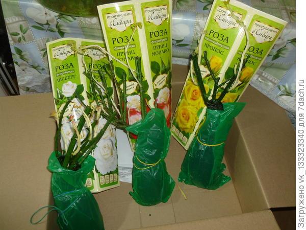 саженцы роз из Сибири