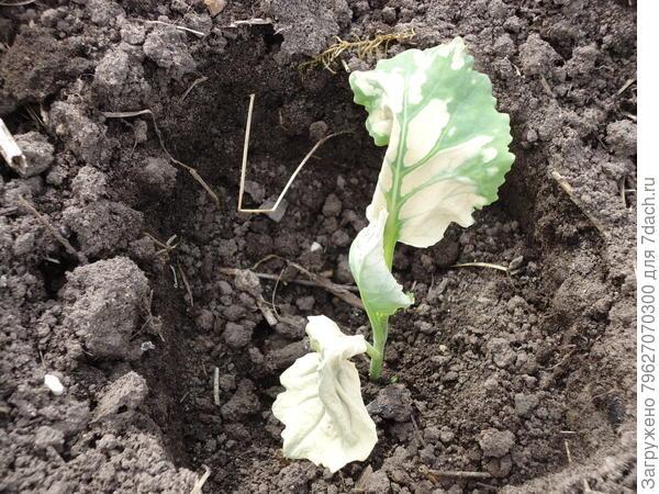 На третий день после высадки рассады, на кустике капусты появились бело-желтые пятна