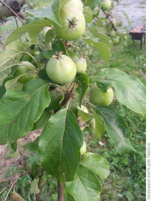 А это норм. яблоки, только больше не растут