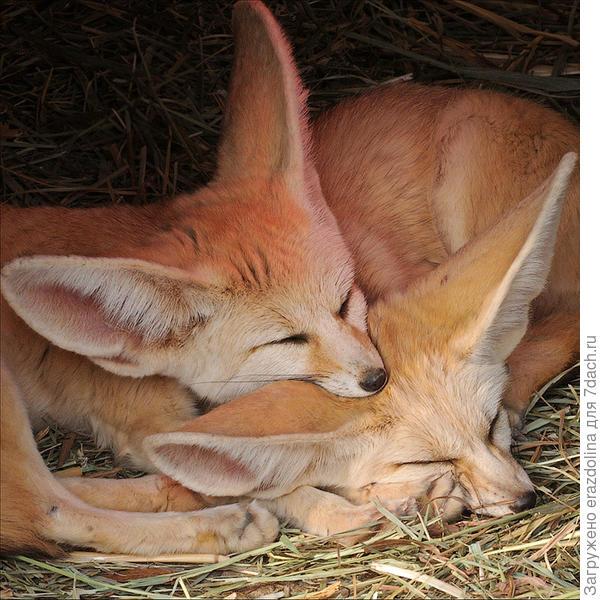 Ушастые лисички