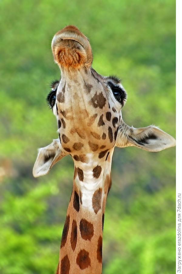"""Далёко, далёко, на озере Чад Изысканный бродит жираф..."""