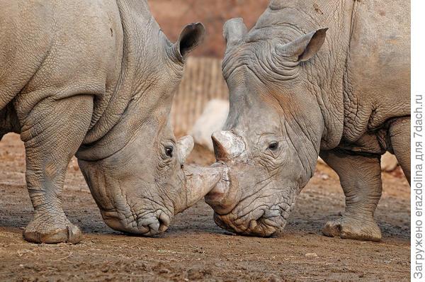 Зачем носорогу рог?