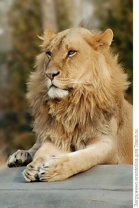 Я, царь зверей!