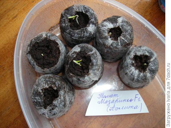 5 Марта, 8 часов утра. Открываю контейнер для проветривания и...О,ЧУДО! Появились малышки-растишки. Из всех посевов семена томата Мазарини F1 взошли первые.