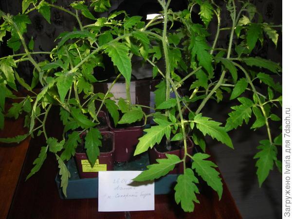 листья у Сахарного бизона крупные.