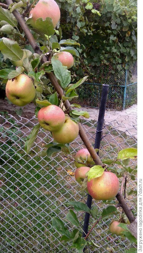 На какой сорт похожи эти яблоки?