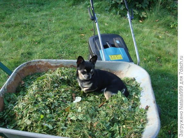 Флирт в тачке с газонным удобрением