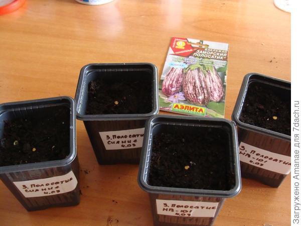 Замоченные семена высаживаю в индивидуальные стаканчики