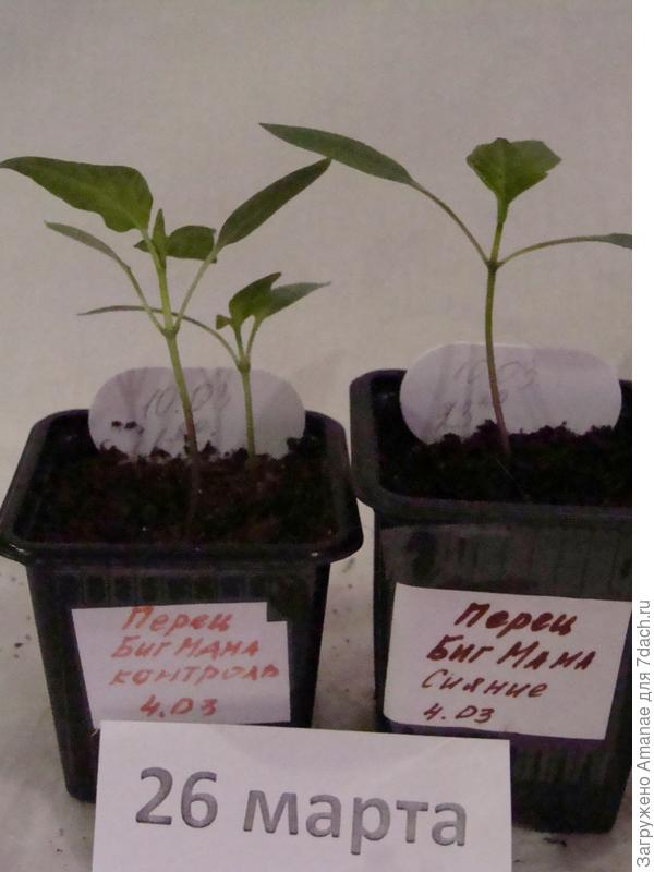 Биг Мама, выращиваемые в разных условиях пока не сильно отличаются