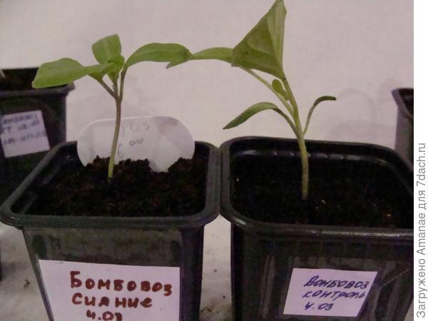 На южном окне растение крупнее