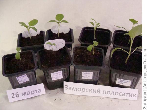 26 марта Заморские Полосатики