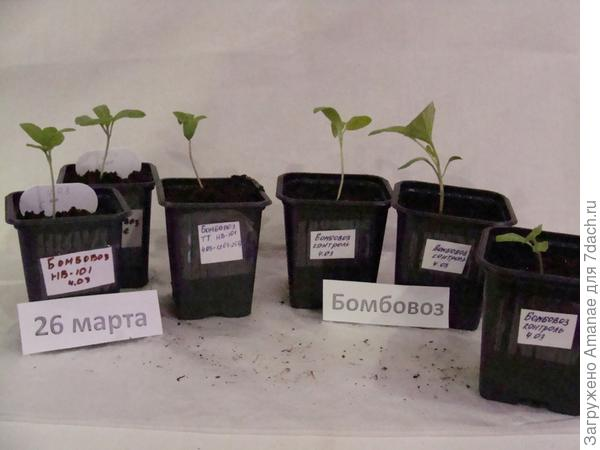 На 26 марта все 6 корней баклажана живы