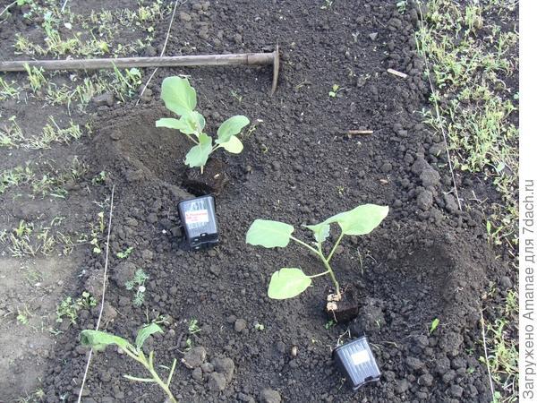 2 растения, что росли на окне, высажены отдельно, на грядку без мульчи