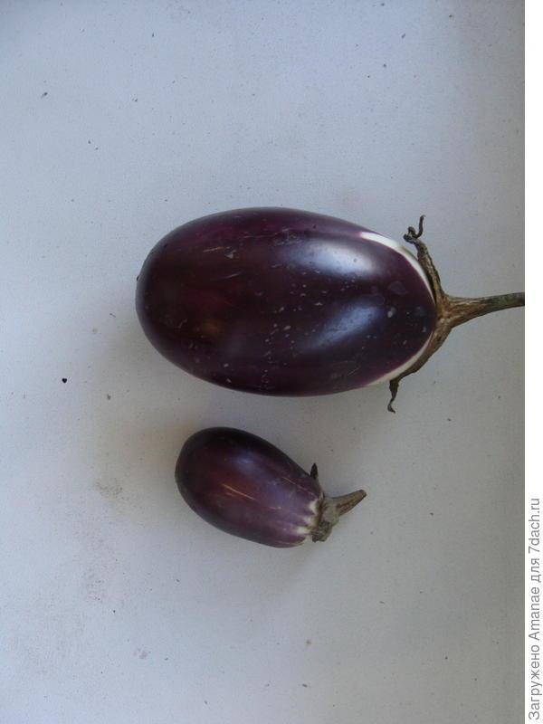 Первые снятые плоды баклажана Бомбовоз