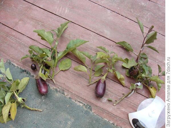 Кусты баклажана Бомбовоз с плодами