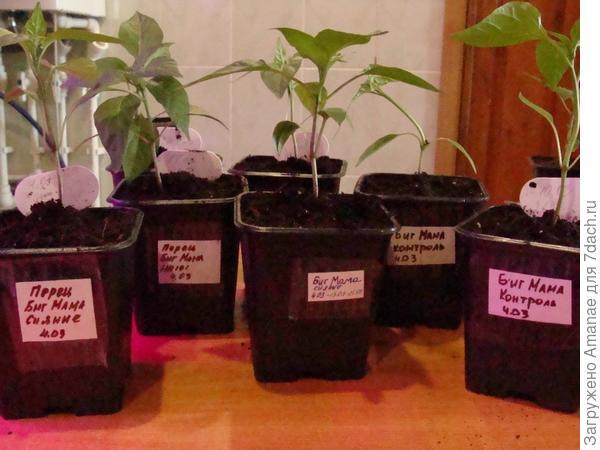 Пересаженные растения перца Биг Мама