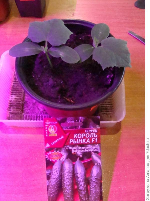 Первый настоящий лист и отрезание лишнего ростка