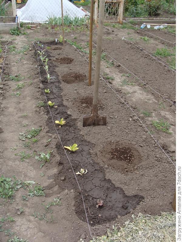 Грядка для огурцов, капуста по краю уже высажена