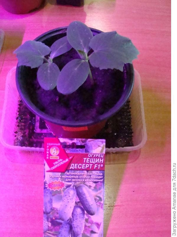 Оба растения были крепкими, отрезала один, оставив второй для дальнейшего роста.