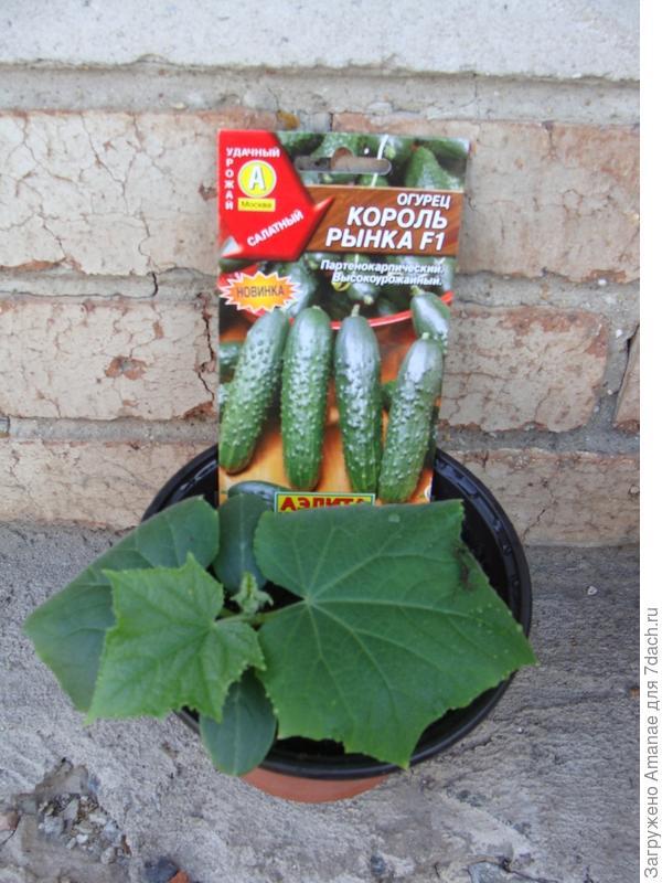 Огурец под фитолампой не вытянулся, листья мощные, зелёные