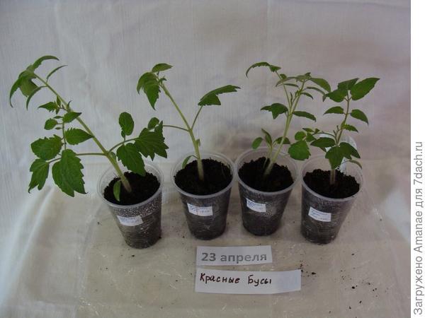 23 апреля - томаты подросли