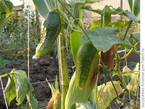 Последний урожай 2 сентября