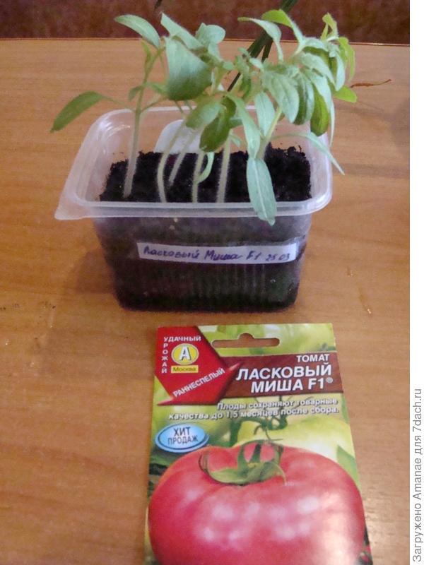 Взошедшие томаты