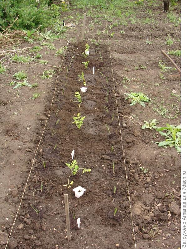 Репчатый лук из семян посажен на грядку 10 мая