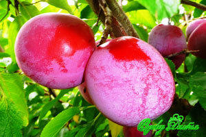 Плоды сливы Генеральная