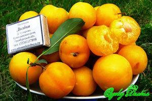 Плоды сливы Царская, обожаю жёлтую!