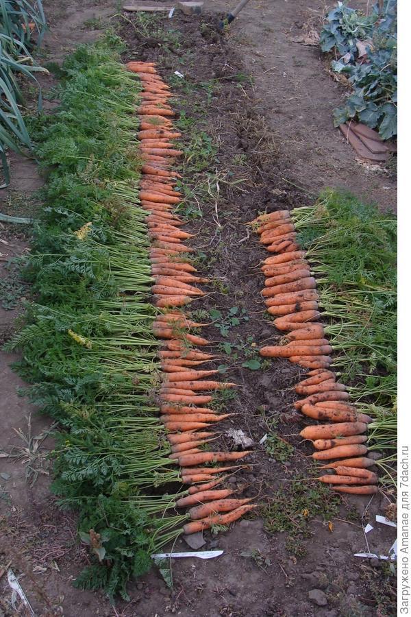 Морковка на некопанной грядке
