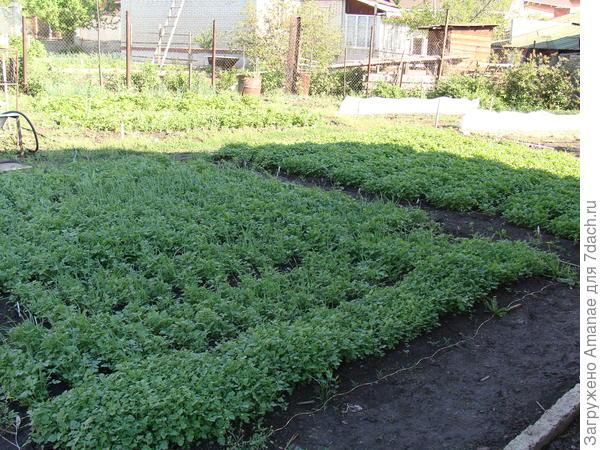 Поле горчицы весной успело вырасти до посадок баклажан и перца