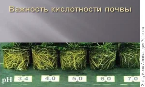 Развитие корней хвойных растений в зависимости от кислотности почвы