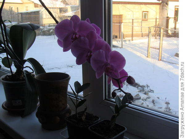 Орхидея в доме, цветёт, но не пахнет :)