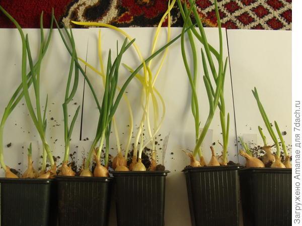 Развитие лука в зависимости от условий содержания