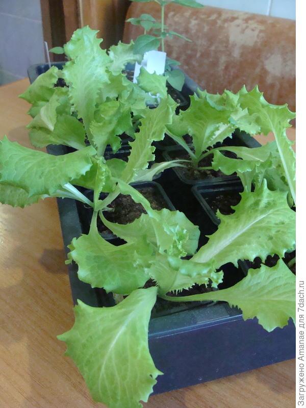 Салат после пересадки растёт очень хорошо