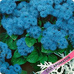 Голубой агератум