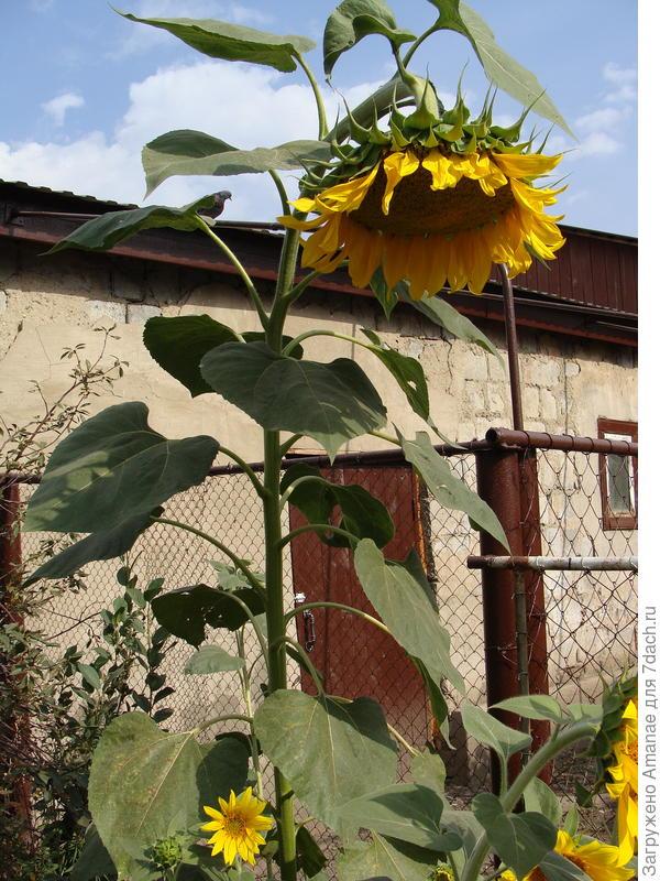 Подсолнух вырос высотой более 2х метров