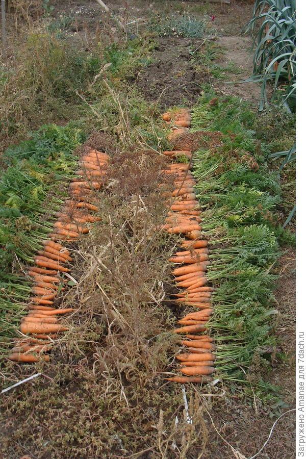 Морковка, выращенная на некопанной почве