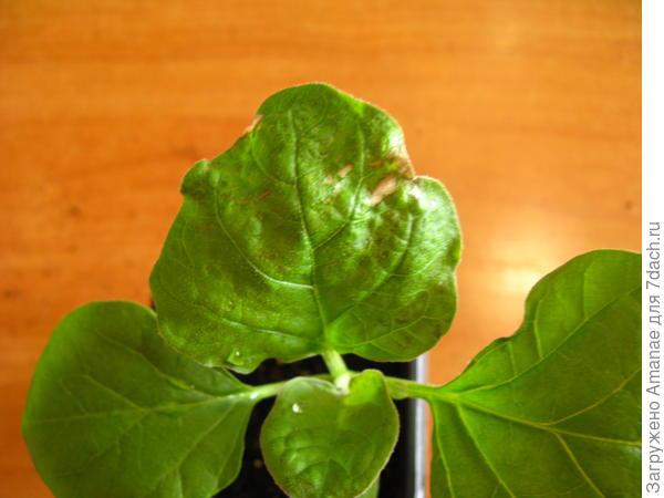 Больные листья на Бомбовозе