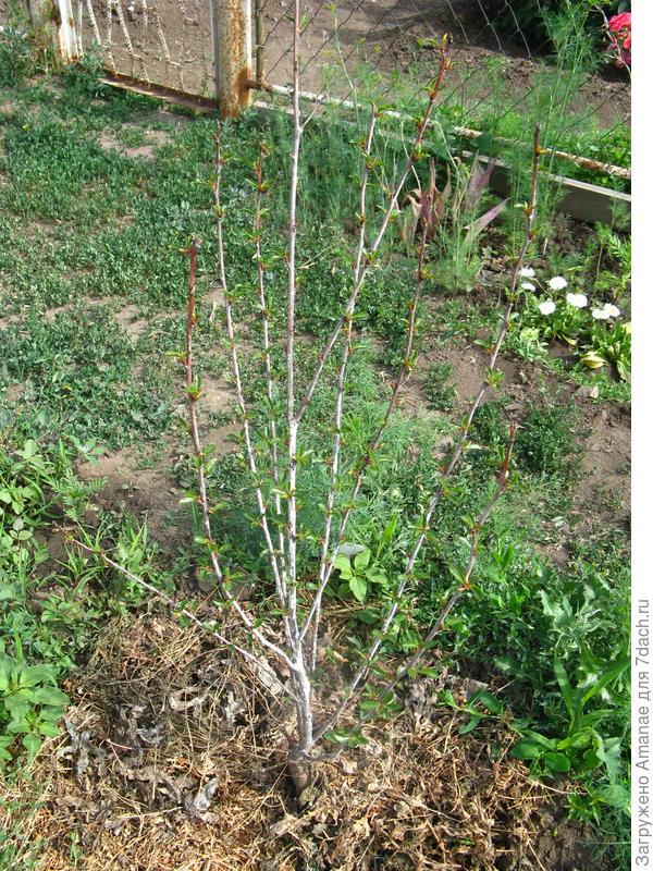 Общий вид вишни Уральская Рубиновая