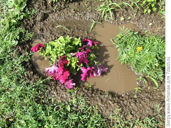 Петуния в луже в грязи