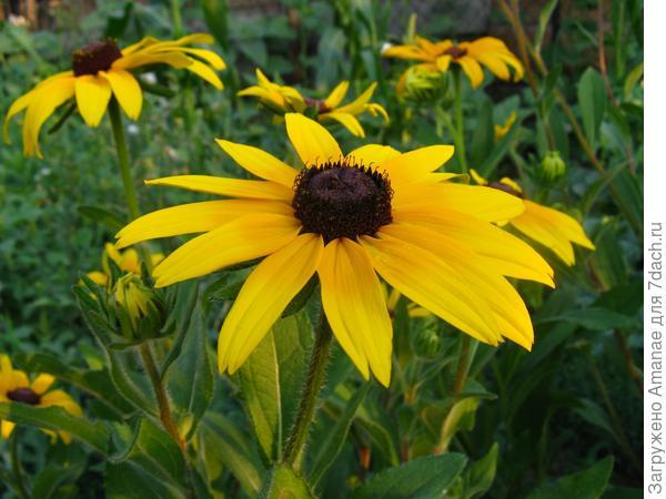 Рудбекия - красавица с желтыми цветами