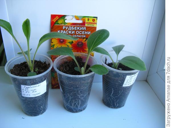15 апреля - растут рудбекии с мохнатыми листьями