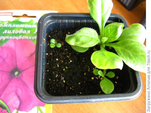 До пикировки растения развивались неравномерно