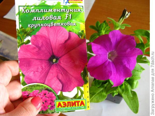 Комплиментуния Лиловая крупноцветковая